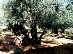 ancient_olive_tree
