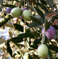 grafted olives