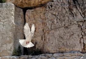white-pigeon-kotel