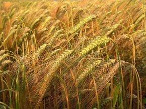 first-fruits-barley