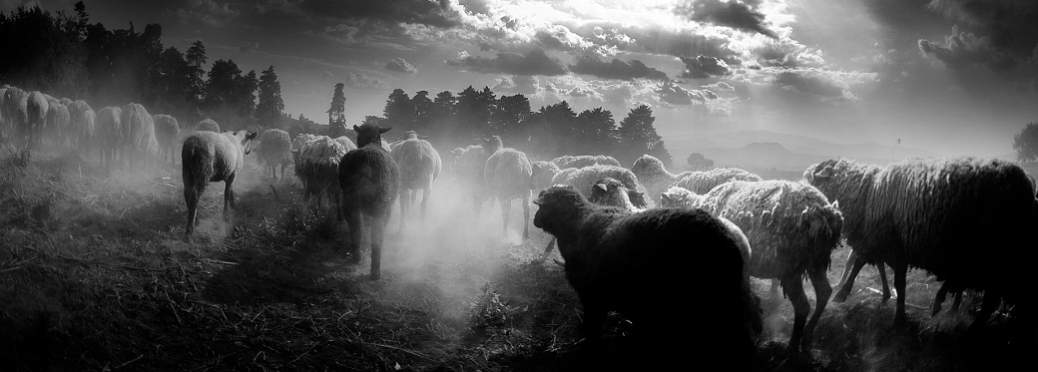 sheep in the fold